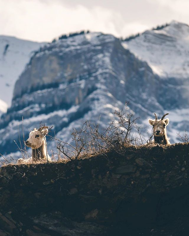 Queens of the Hill ⠀⠀⠀⠀⠀⠀⠀⠀⠀⠀⠀⠀ ••••• 🏷: #sonyalpha #sonyimages #sharecangeo #cangeotravel #explorecanada #imagesofcanada #explorealberta #travelalberta #wanderlustalberta #mykananaskis #kananaskis #kananaskiscountry #visitcanmore #canmore #canmorealberta #canmorelife  #bighornsheep #wildlifeonearth