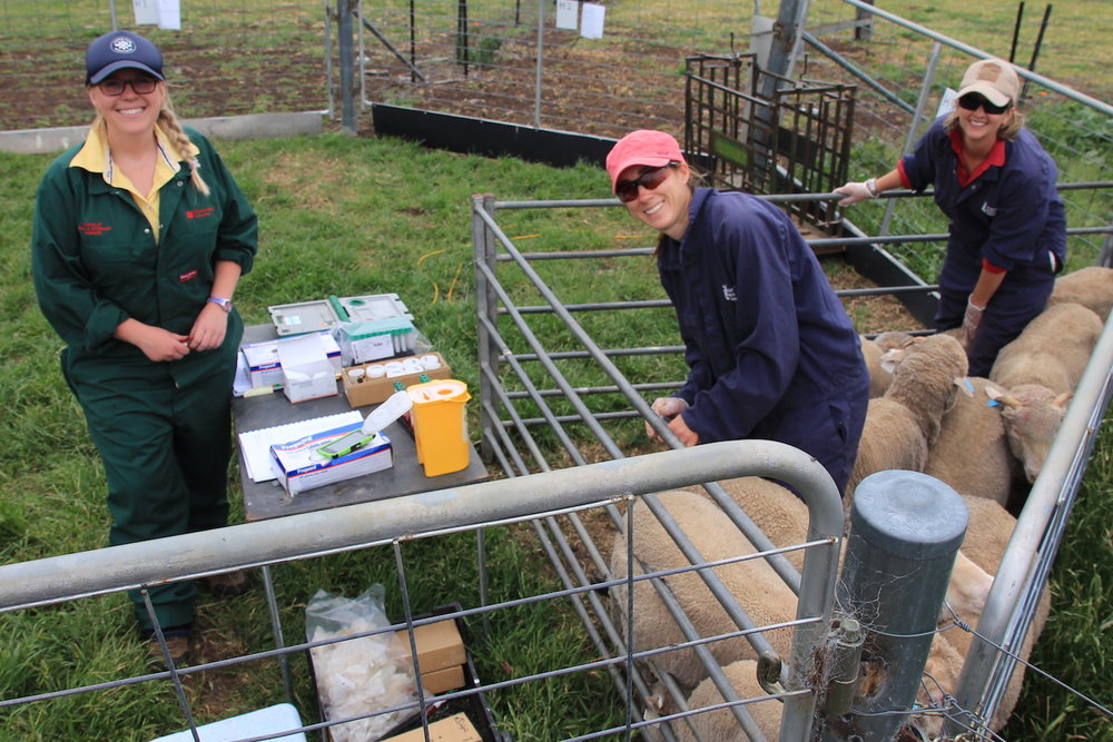 Invetus production animal research