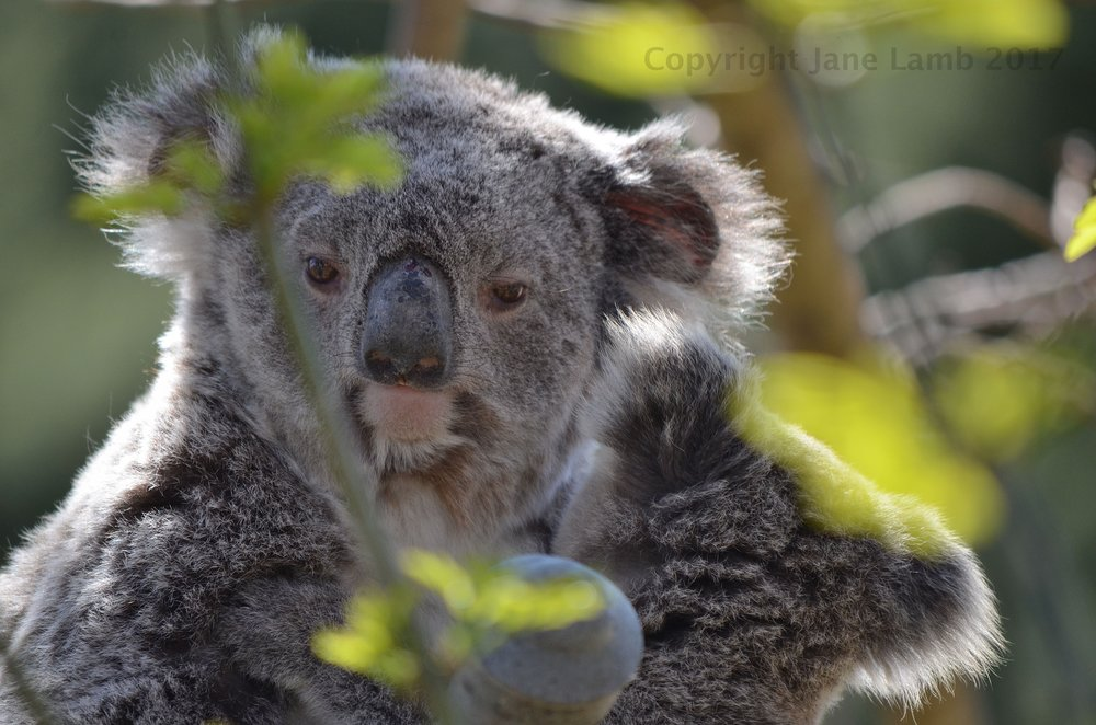 201709 Sleepy koala baby at ARC.JPG