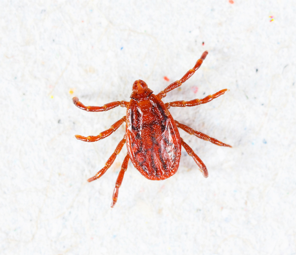 Adult male brown dog tick
