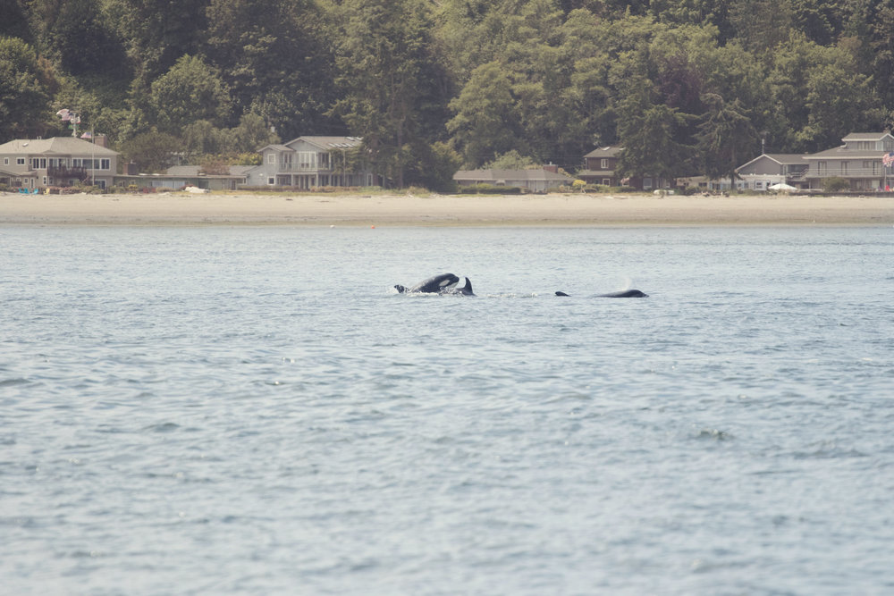 True to the San Juan Islands lifestyle, guests spotted a pod of Orcas passing by.