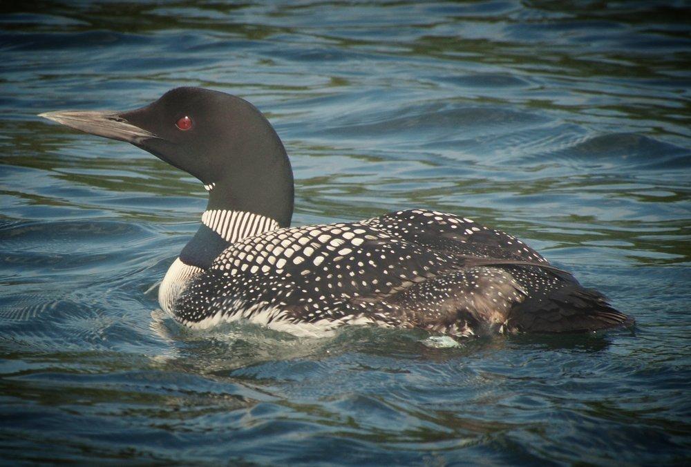 Gavia_immer_-Minocqua,_Wisconsin,_USA_-swimming-8.jpg