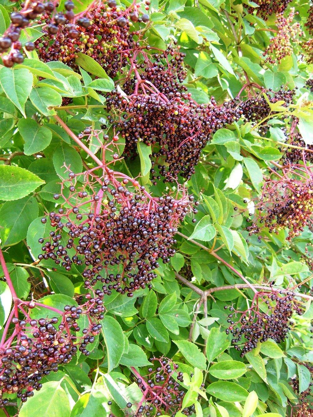 elderberry2.jpg