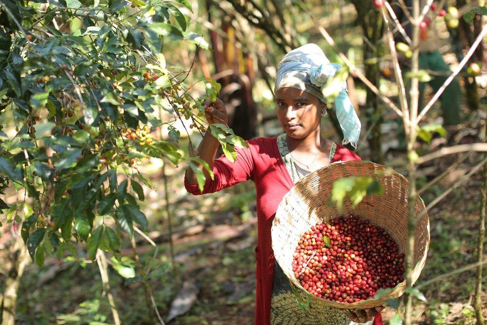 Äthiopien - Fairtrade Kaffee (16).jpeg