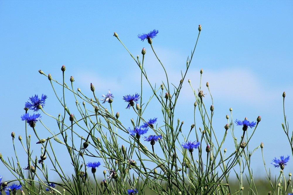 cornflowers-3432162_1920.jpg