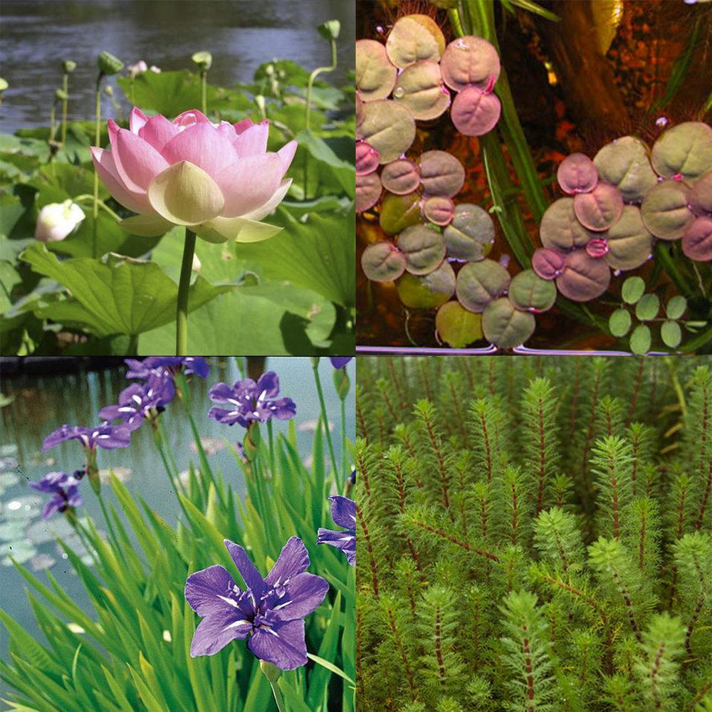 Plantas acu ticas altascopas for Imagenes de estanques para ninos