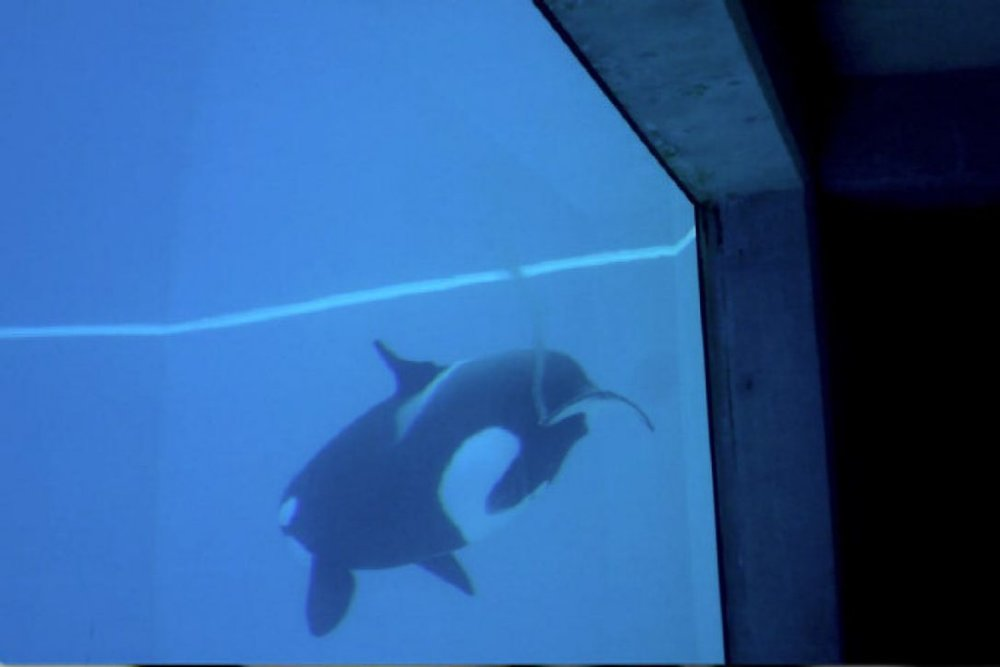 Kiska, a killer whale at Marineland, leaves a trail of blood as she swims. Source: The Star