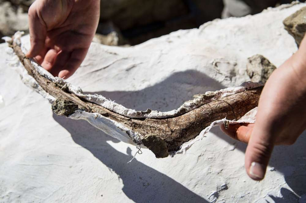 The bones were covered in plaster before being taken out of the rock to prevent cracking. Mark Johnston/NHMU