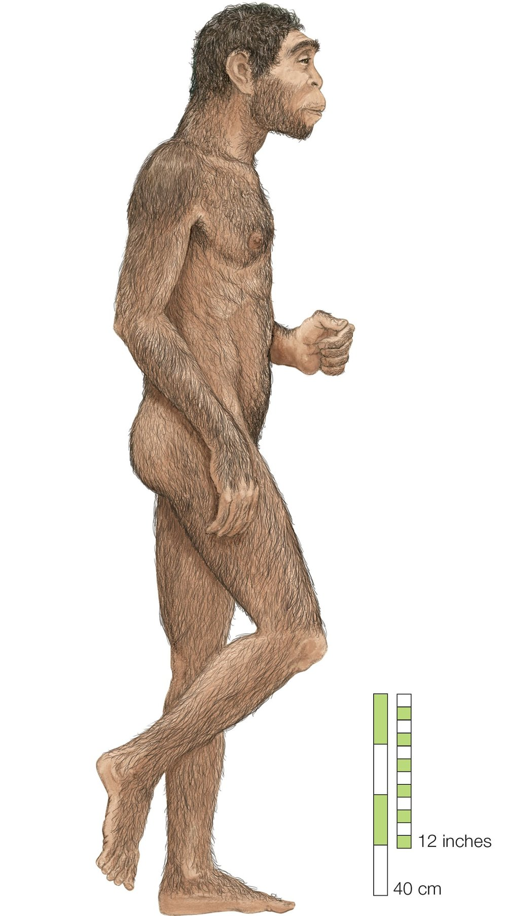 Homo erectus  first appeared in Africa more than 1.8m years ago.  Illustration: Universal Images Group Limited/Alamy