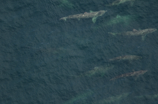 An aerial photograph of the basking sharks in the North Atlantic © NOAA