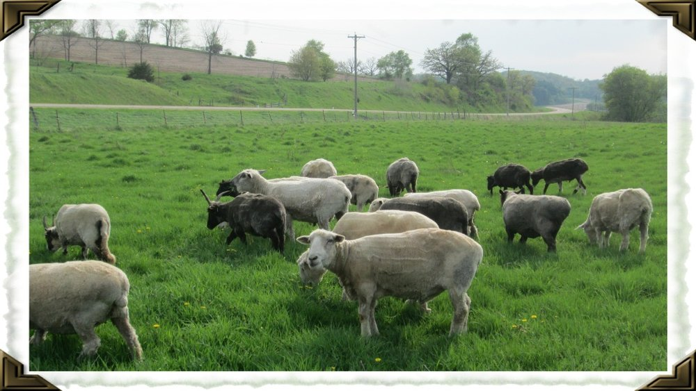 Time for some Spring pasture- a reward for their gorgeous fleeces!!!
