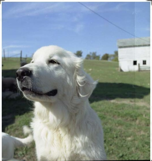 Bobbi (pictured) & brother Andrew were our first Great Pyrenees dogs. They loved their sheep!