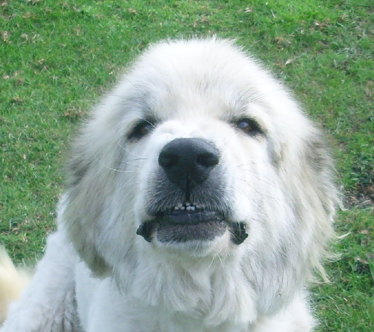 Andrew and his sister Bobbi were our very first Great Pyrenees dogs. They adored our sheep- and us!