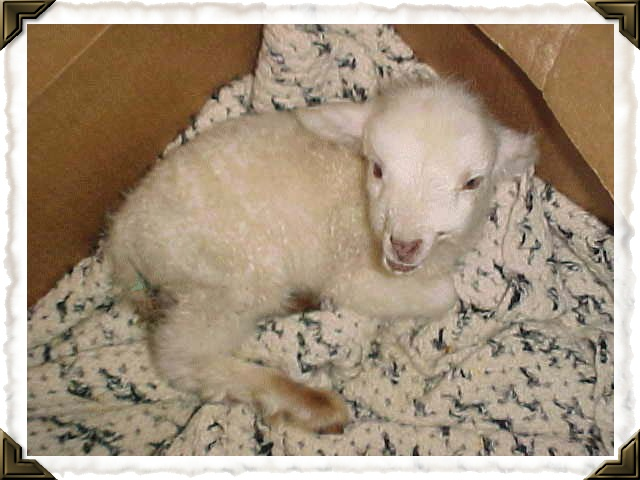 Our very first ever bottle lamb- her name was Hope.