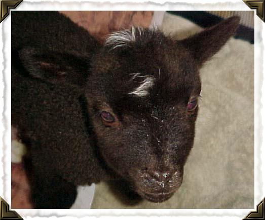 Becan Shetland sheep!