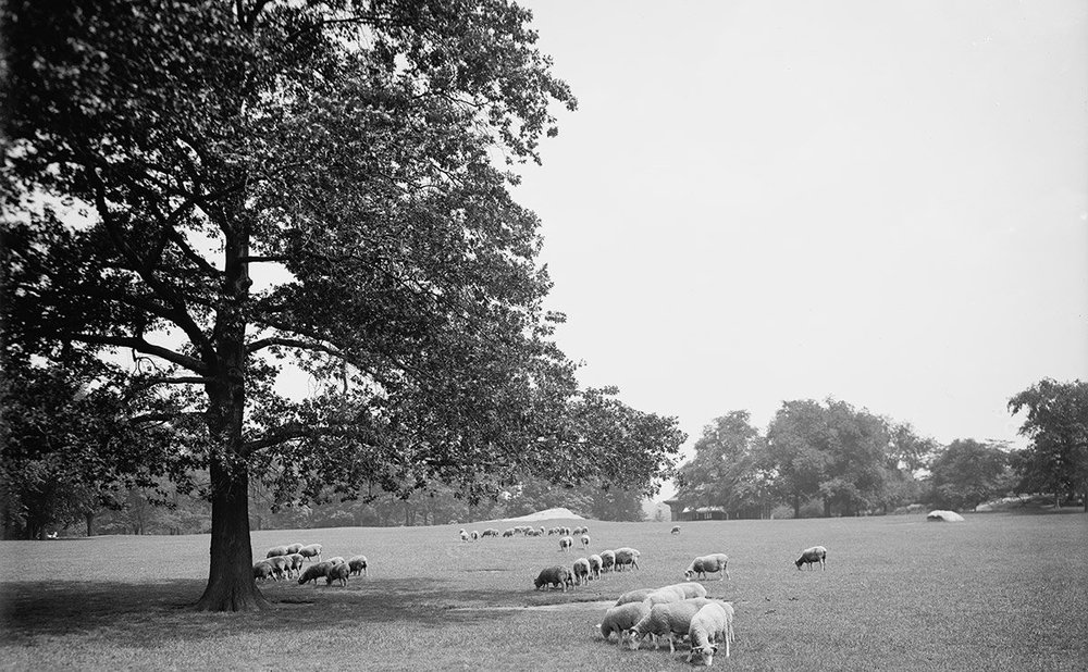 sheep in central park.jpg
