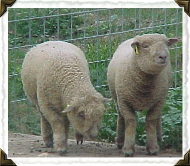 Our Brinley and Trevor were twin Babydoll Southdown sheep. I miss their smiley faces, they were such angels!