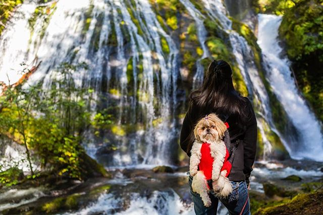 Princess Koko x Panther Creek Falls #chill #panthercreekfalls #puppiesofinstagram #nature #travel #wanderlust #potd #photooftheday