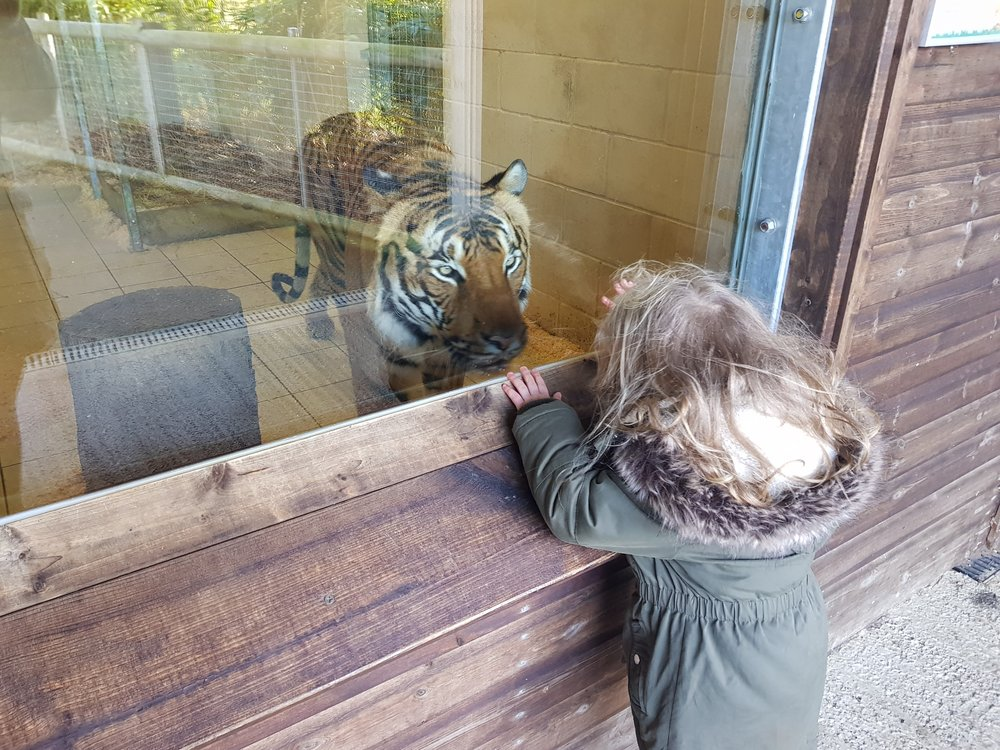 Squidgy completely fearless facing up to Hamerton Zoo park's Malayan tiger