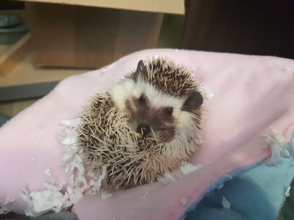 Elsie the African Pygmy Hedgehog