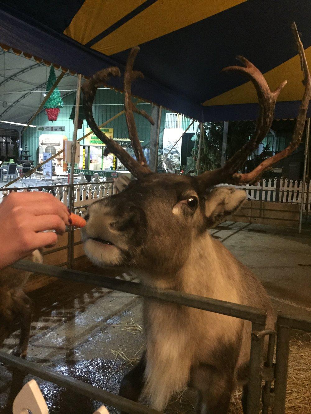 Meeting Santa's reindeer at Baytree Winter Wonderland