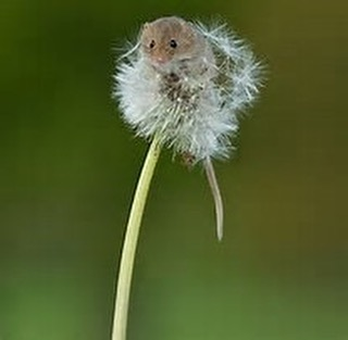 This is a mouse. On a dandelion. I mean... #MouseCrushMonday #MCM #EasyChoice #Duh #MousingAround #FeelingMousey #Art #Red #InstaLove #Work #LoveOurJob #LoveOurTribe #Filmmakers #Creators #Director #Producer #Cinematographer #Writer #Actor #Editor #SqueakSqueak #Love #Art #Work #POTD #PicOfTheDay #DirtyDuo #LosAngeles #LAFilmmakers