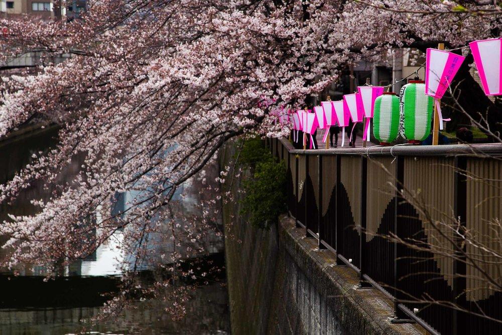 Hanami Cherry Blossoms Meguro River Tokyo