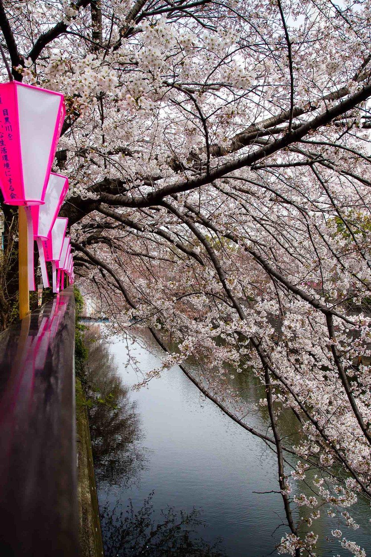 Hanami Cherry Blossoms Meguro River