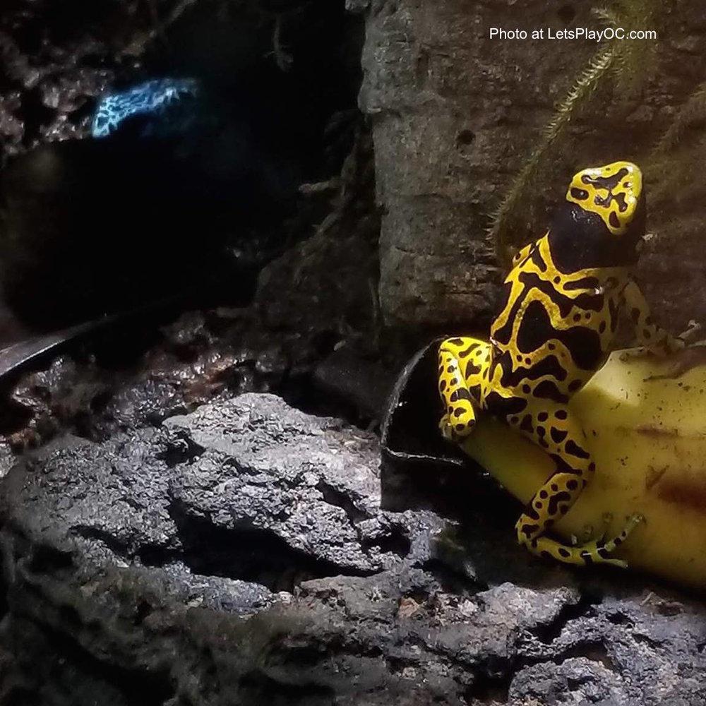 Aquarium Pacific Yellow Banded Poison Dart Frogs Exhibit Photo at LetsPlayOC.jpg
