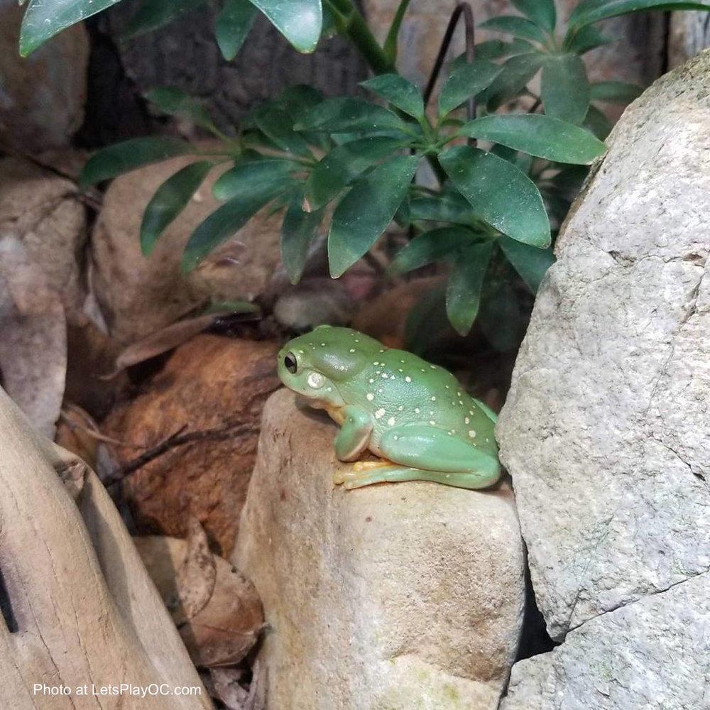 Aquarium Pacific Magnificent Tree Frogs Exhibit Photo at LetsPlayOC.jpg