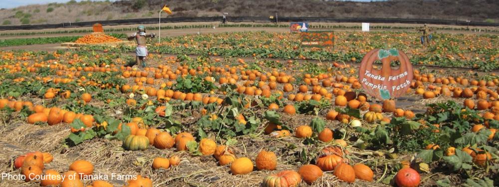 Tanaka Farms Pumpkin Patch.png