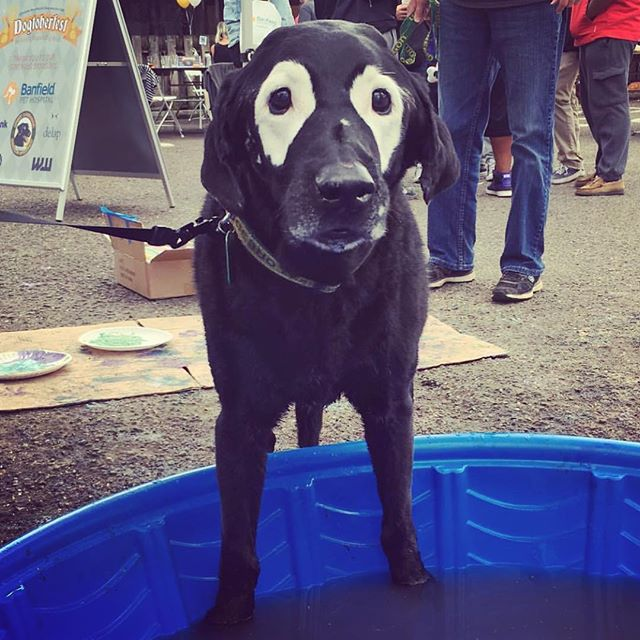 "Oh don't mind me, I'm just poolin around! 😂😂😂 Get it? ""Poolin"" around?? Baaa haaaa #imsuchacard #haha #jokester #pawprint #dovelewispdx #dogtoberfest #summersover #keepportlandrowdy #pool #pooltime #comedy #dogsofinsta"