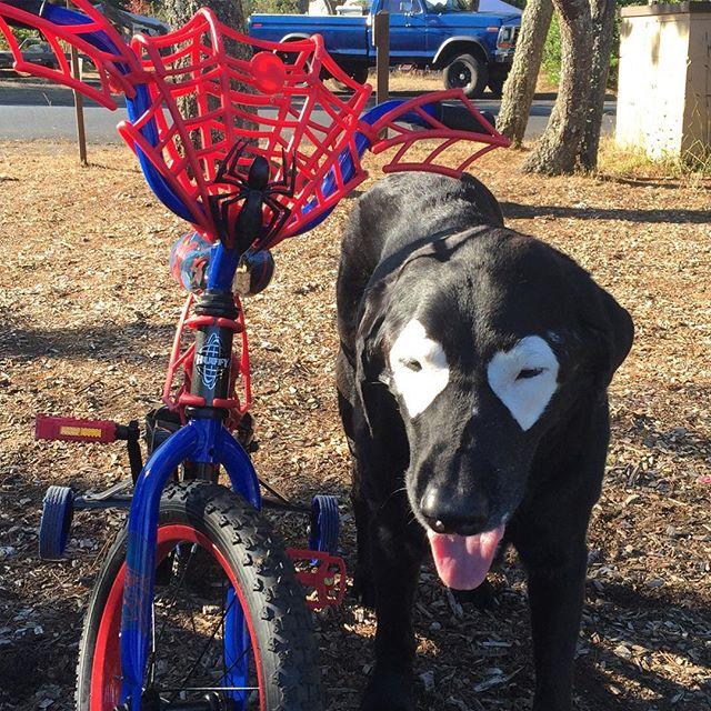 My new wheels!! 🕷 👀 🙊😂 #spiderman #deadpool #comicon #marvel #spidey #dogpool #spiderbike #keepportlandrowdy #deadpoolmovie #superhero