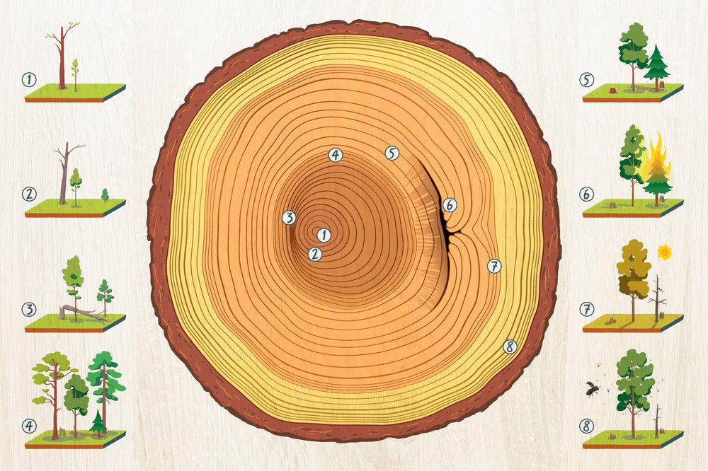 Hvordan årringene i treet påvirkes av vekst og hendelser