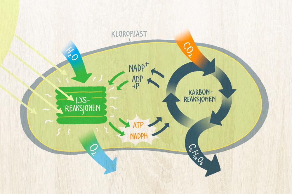 Fotosyntesen omdanner karbondioksid og vann til karbohydrater, med sollys som energikilde. Oksygen er et biprodukt av fotosyntesen