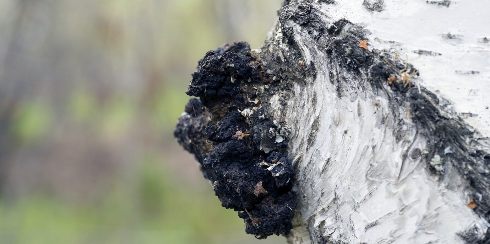 The beautiful chaga growing on a birch tree...