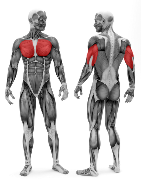 D6-17ChestPress---Muscles (1).png