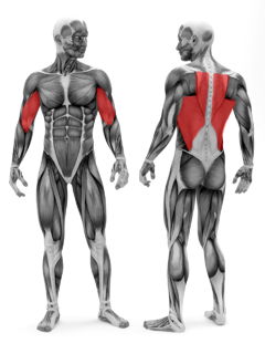 C7-15SeatedRow---Muscles- (1).png