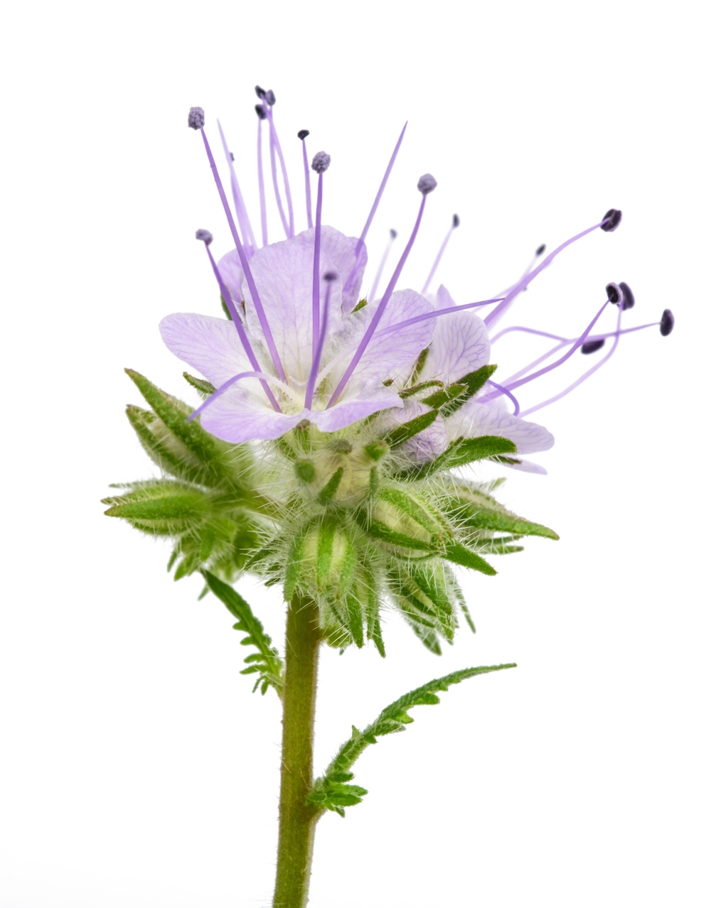 Blue-tansy-flower.png