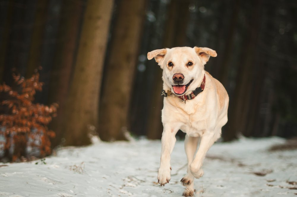 Lure dog recall