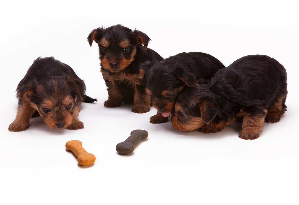 Puppies resisting a tasty treat
