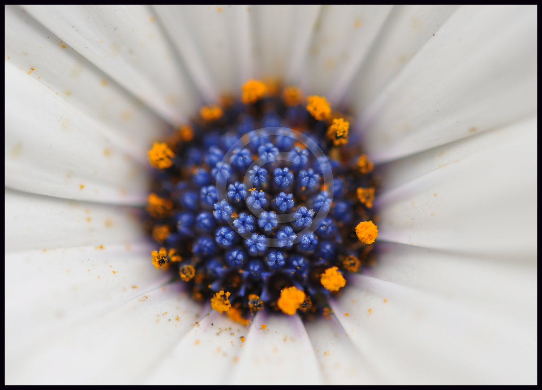 Flowers abhijit bhatwadekar photography white flower with blue centerg izmirmasajfo