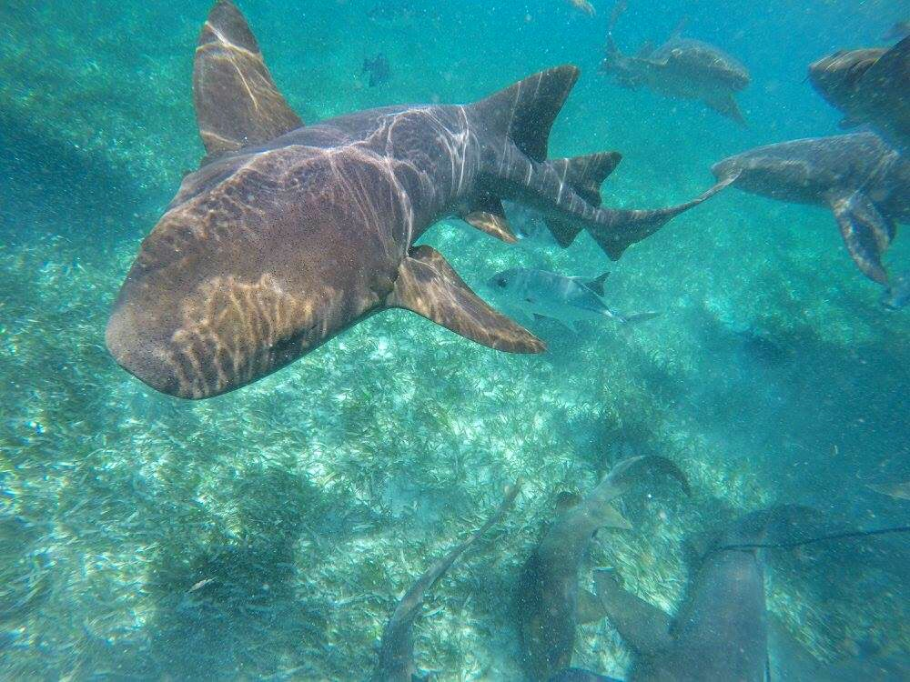Nurse sharks in Belize!