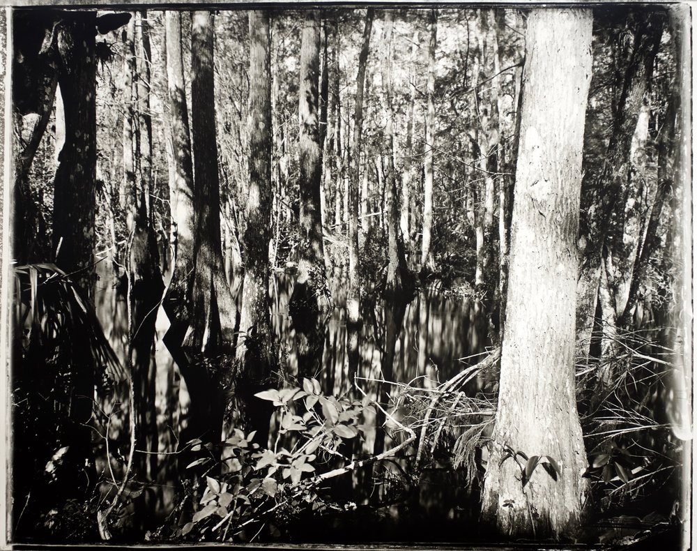 Ghost Tree,  37 in. x 30 in., collodian negative hand printed on Fomatone paper, 2018.