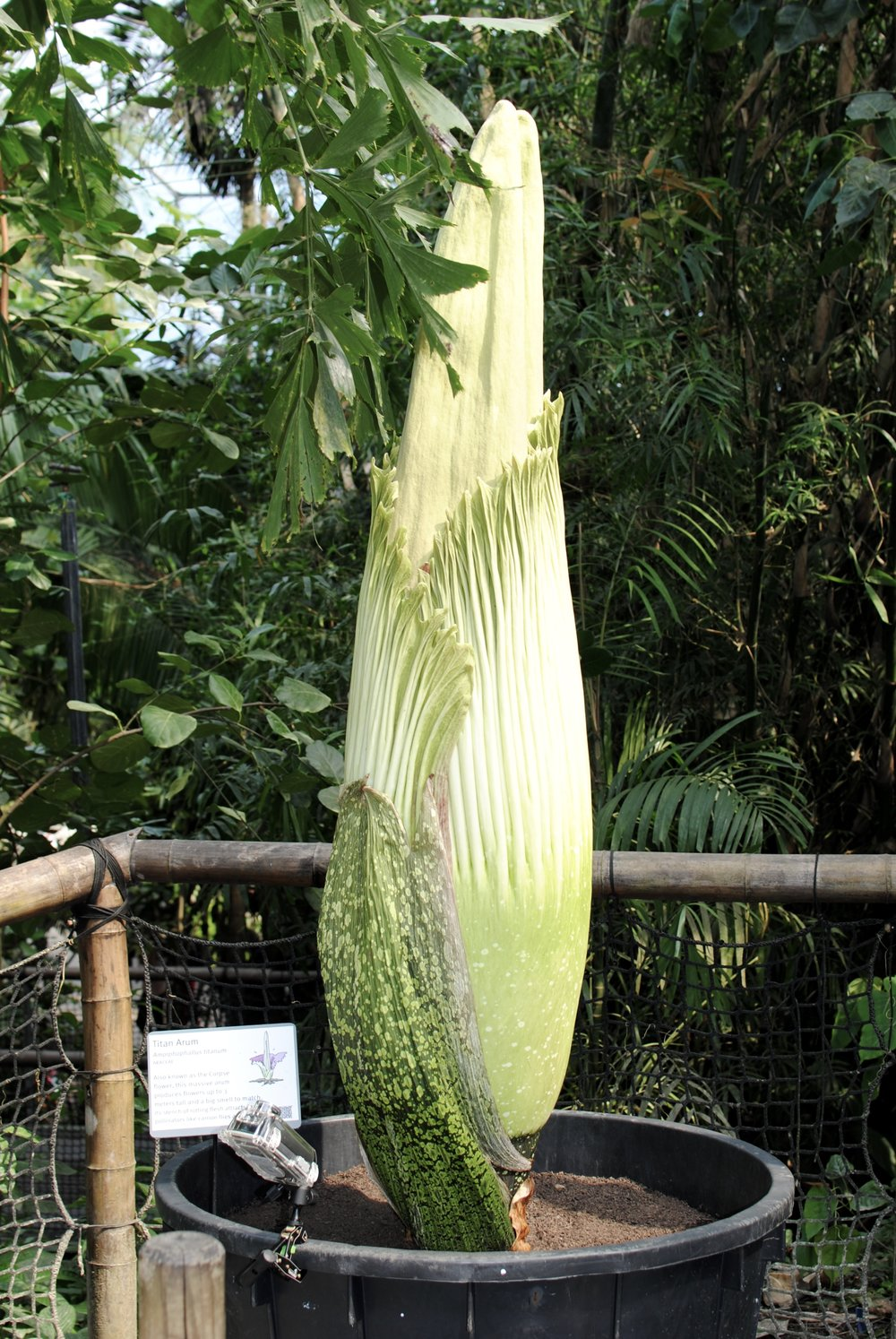The Titan Atum is native to Indonesia and blossomed for the first time in Eden's rainforest in 2005.