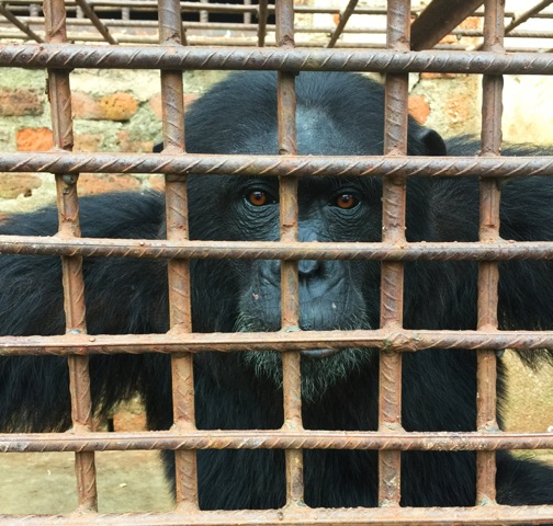 Too intelligent to be caged. The live chimpanzee trade is sadly also alive.
