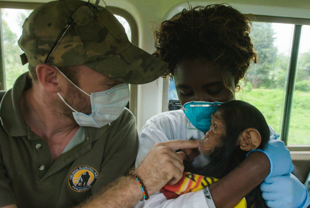Wildlife heroes come in many forms. This is a moment we captured while visiting lwiro primate sanctuary earlier in the year. Here, the Virunga pilot, Anthony Caere comforts little Dungu, a baby chimp who he just flew from a rescue operation far to the north. Little Dungu is safe at last in wildlife vet Lina's capable arms. Yes, indeed these two people represent hope for these wild orphans and are the basis from which they can start to trust humans. Every single day as I think back on what I have seen and been a part of during our filming trips across the continent in the last few years I am grateful for these people. Indeed we owe tremendous gratitude to these folks for they are the future of our wildlife.