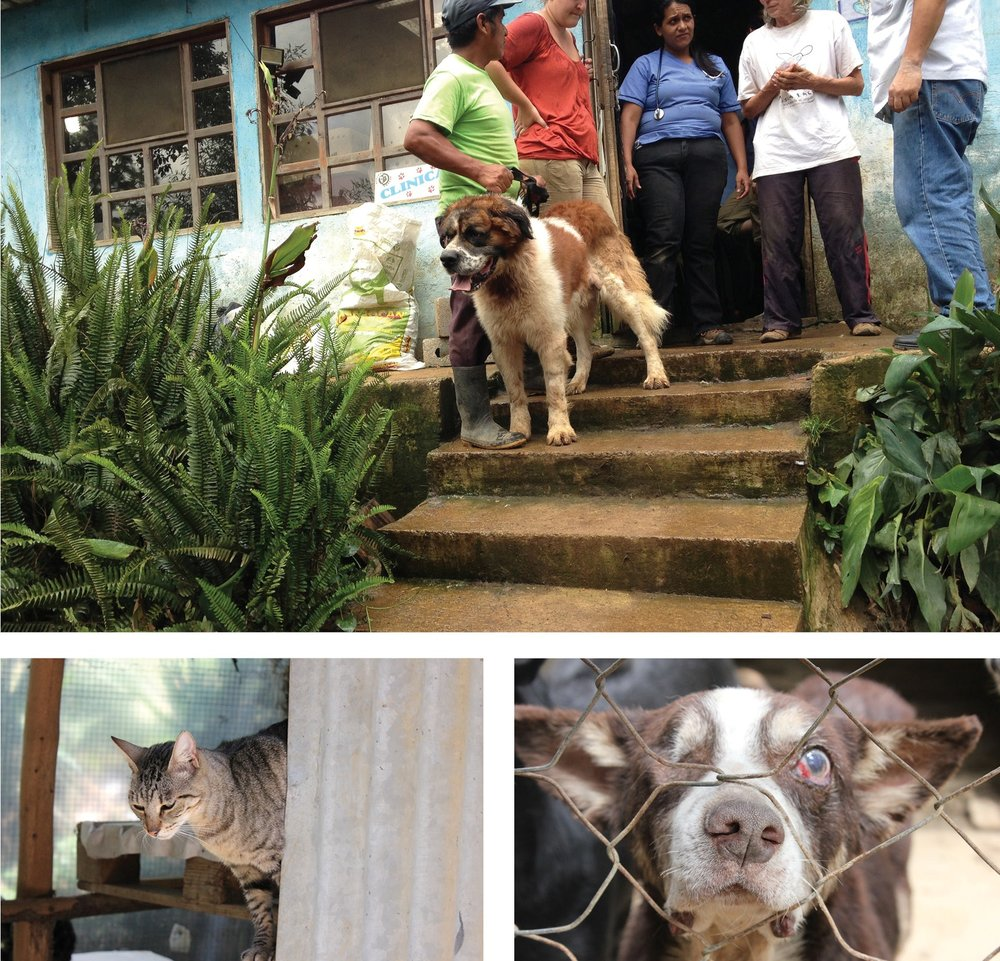 Clockwise from top: Local Guatemalan man brings his dog to the a low-cost spay and neuter clinic at AWARE's shelter, AWARE shelters many special needs animals that would otherwise have no hope of survival, a resident cat climbs in the cattery which is home to over 50 felines.