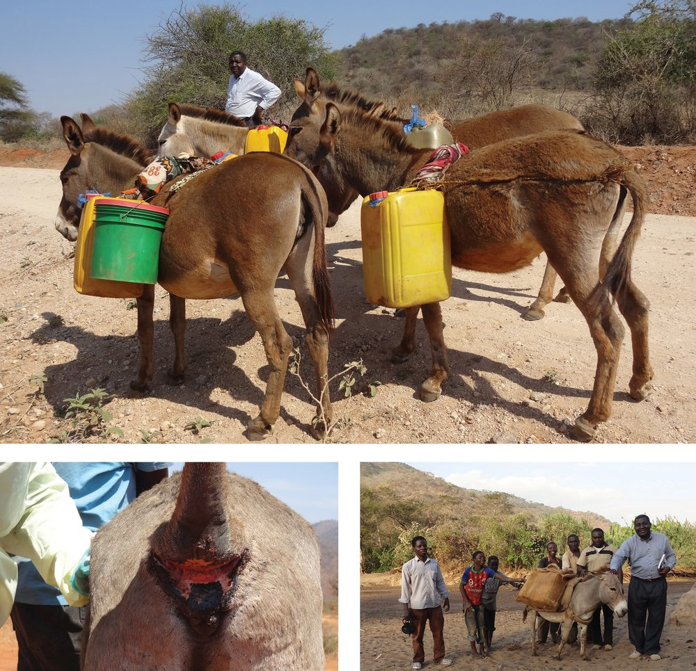 Clockwise from top: Donkeys carrying jerry cans strung with inadequate protection, Dr. Kahema speaks with locals about humane care at donkey clinic, Donkey with serious wound caused by pulling carts down the mountain without adequate protection.