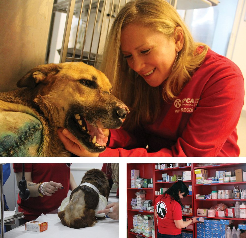 Clockwise from top: SPCAI Executive Director Meredith Ayan holds dog fighting victim's head as he rests, Dog Rescue Romania staff pulls supplies donated by SPCAI from shelves, dog receives treatment for skin infections.